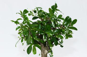 bonsai_krone