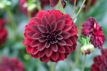 deep red dahlia bloom (formal decorative type)