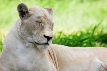 white lion #1
