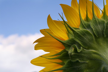 nice sunflower