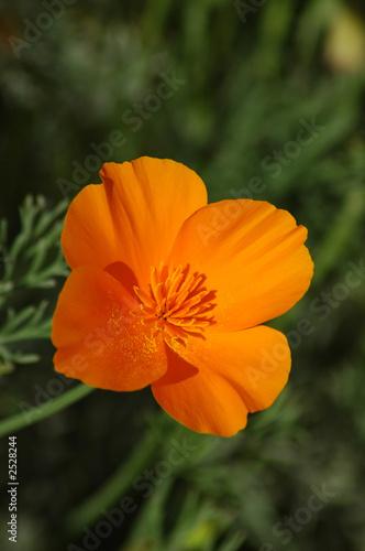 California state flower the golden poppy stock photo and royalty california state flower the golden poppy mightylinksfo Gallery