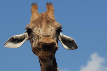 Poster Giraffe giraffe