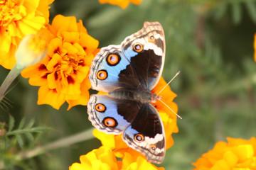 papillon multicolore