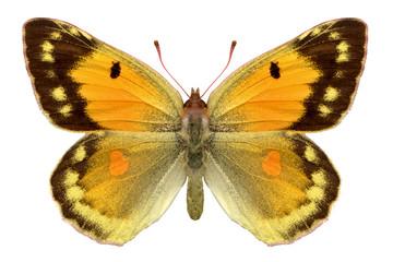 le papillon jaune. yellow colias.