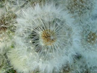 seedy dandelions