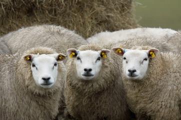 curious looking sheep