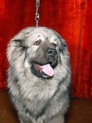 caucasian dog head10