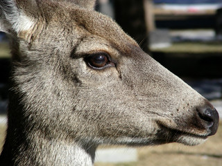 profile of a deer