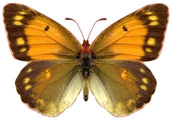 yellow butterfly papillon colias heufalter