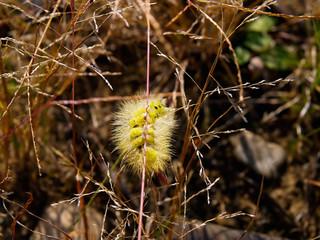 yellow caterpillar  on the grass