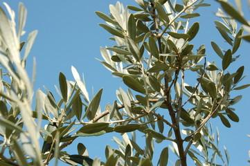 l'olivier de provence