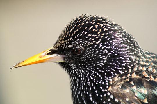 close up of a british starling