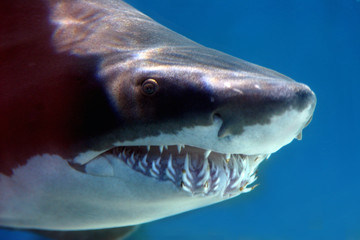 shark with mouthful of teeth