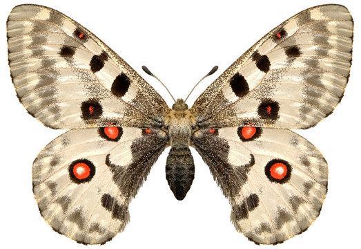 butterfly papillon apollo.