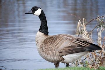 canda goose 6