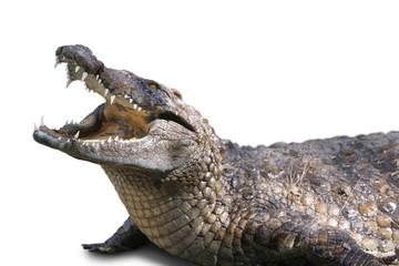crocodile sur fond blanc