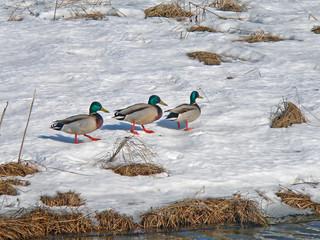 wild ducks on snow 2