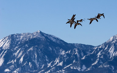 canada geese over boulder, co