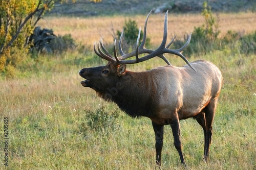 Wall mural bugling rocky mountain elk
