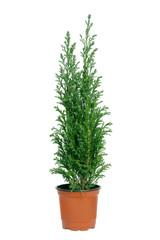 cypress in pot.