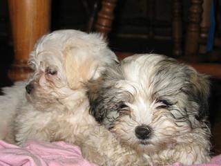 fluffy maltese cross pups