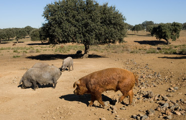 semental cerdo