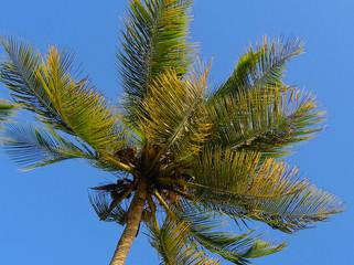 palme caraibiche da vicino