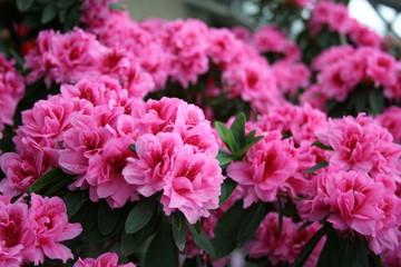 Poster Azalea azalea rhododendron