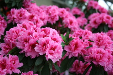 In de dag Azalea azalea rhododendron