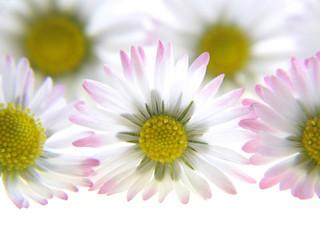 Poster de jardin Macro white spring daisies