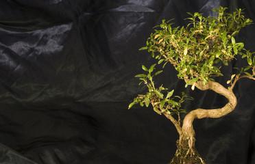the mighty bonsai!!!!