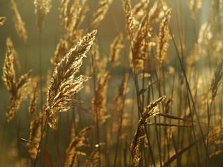Fototapeta golden grass