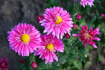 beautiful chrysanthemas