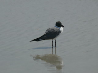 seagull and reflection