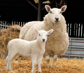 Fototapete - ewe and lamb