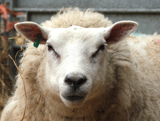 Fototapete - ewe