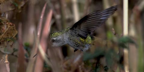 where is my beak hummingbird