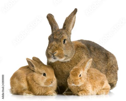 Lapine et ses lapereaux photo libre de droits sur la - Photo de lapin a imprimer ...