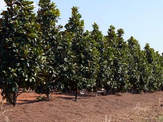 line of magnolia trees