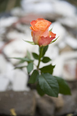 beautiful rose on the rubber
