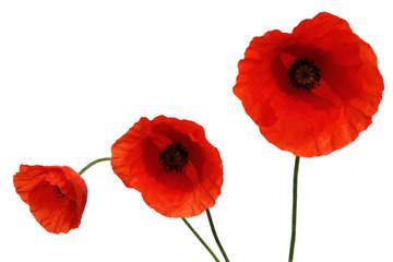 Foto op Canvas Poppy coquelicot 2