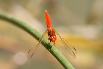 libellula equilibrista
