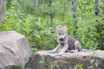 wolf cub on rock