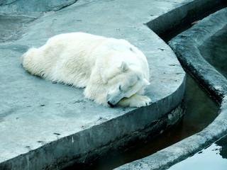 slaap ijsbeer