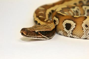 python curtus