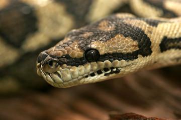 serpent morelia