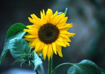 shady sunflower