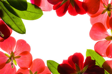 Wall Mural - red flower frame over white background