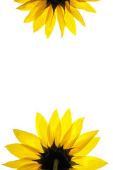 Wall Mural - blank white page decorated with sunflower details
