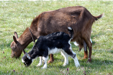 new born young goat with her mother goat eating grass